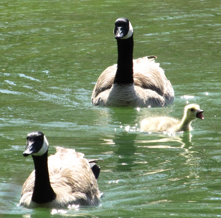 Canada geese with gosling