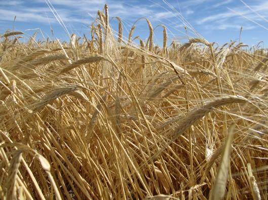 Ripe Wheat Await the Combine