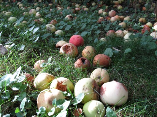 Apples lying beneath the tree
