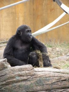 Mr. Gorilla is almost Buddha-like in his certitude